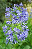 AGAPANTHUS QUEEN ELIZABETH THE QUEEN MOTHER