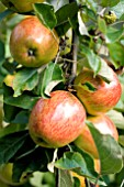 MALUS DOMESTICA PRESIDENT OF HOLLAND APPLE