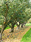 APPLE ORCHARD AT RHS WISLEY