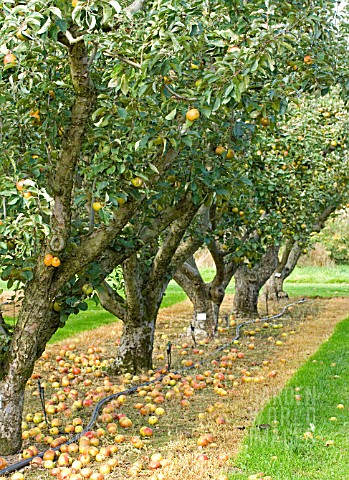 APPLE_ORCHARD_AT_RHS_WISLEY
