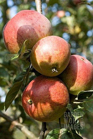 MALUS_DOMESTICA_BESS_POOL_APPLE