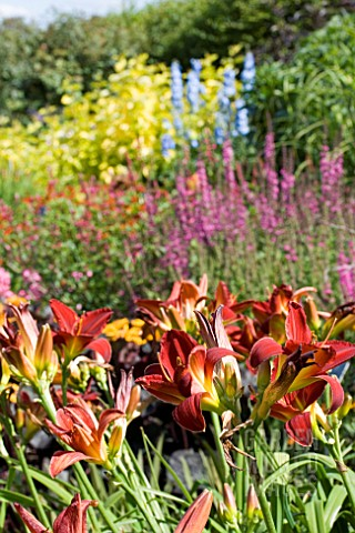HEMEROCALLIS_SCARLET_OAK_IN_SUMMER_BORDER