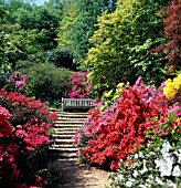 AZALEAS AT WINKWORTH ARBORETUM,  GODALMING,  SURREY