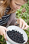 LADY PICKING BLACKBERRIES