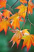 ACER PALMATUM IN LIGHT
