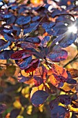 COTINUS COGGYGRIA ROYAL PURPLE IN SUNLIGHT