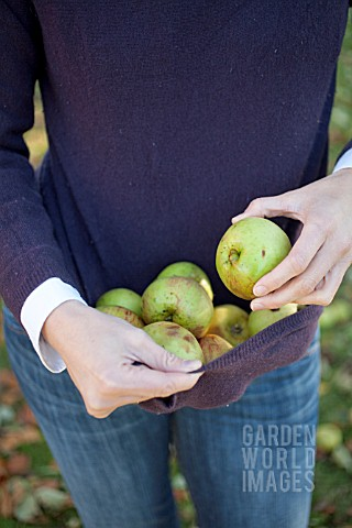 COLLECTING_WINDFALL_APPLES_IN_JUMPER