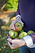 COLLECTING WINDFALL APPLES IN JUMPER
