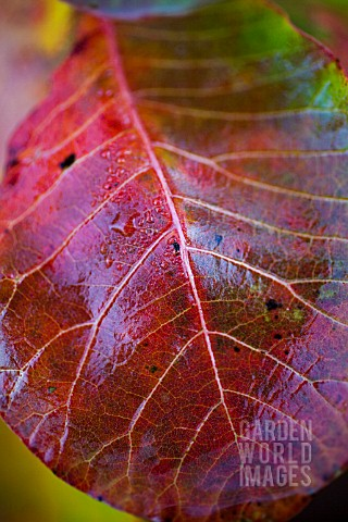 COTINUS_COGGYGRIA_SHOWING_AUTUMN_COLOUR__