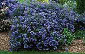 CEANOTHUS  CONCHA,  CALIFORNIA LILAC,  WHOLE PLANT