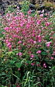 SILENE DIOICA,  CAMPION,  MASS OF FLOWERS