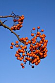 SORBUS WINTER CHEER ROWAN,  BERRIES,  AUTUMN,