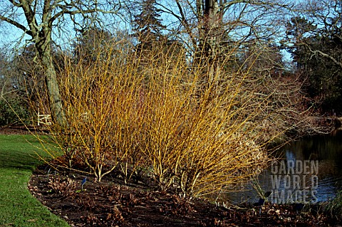 SALIX_ALBA_GOLDEN_NESS__WILLOW__COPPICED__WINTER