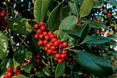 ILEX X ALTACLERENSIS HENDERSONII,  HOLLY,  RED BERRIES,  WINTER