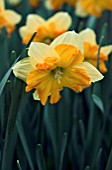 NARCISSUS CENTANNEES,  DAFFODIL,  MARCH