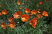 PAPAVER NUDICAULE SUMMER BREEZE ORANGE