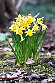 NARCISSUS JUMBLIE