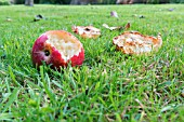 WINDFALL APPLES EATEN BY BIRDS