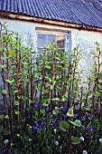 FALLOPIA JAPONICA, JAPANESE KNOTWEED ERUPTING IN FRONT OF A DERELICT SEASIDE COTTAGE