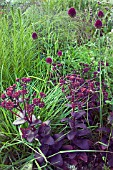 DARK PURPLE OF SEDUM AND ALLIUMS CONTRASTS WITH THE DEEP GREENS OF GRASSES