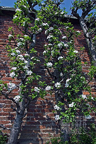 OLD_APPLE_TREES_IN_BLOSSOM