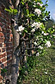 OLD APPLE TREES IN BLOSSOM