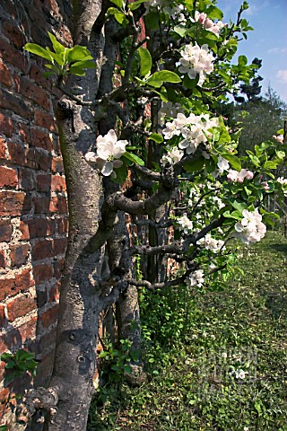 OLD_APPLE_TREES_IN_BLOSSOM_
