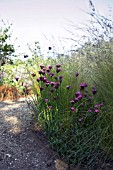 GRASSES AND DIANTHUS,  LATE EVENING LIGHT