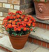 ROSA DARLING FLAME, IN TERRACOTTA POT