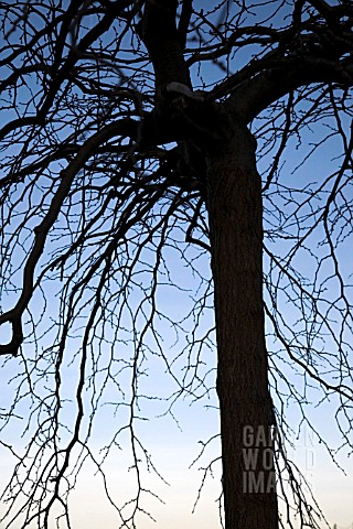 BARE_BRANCHES_OF_ULMUS_GLABRA_PENDULA