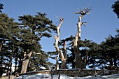 GROUP OF SCULPTED DEAD CEDAR TREES IN CEDARS FOREST, LEBANON