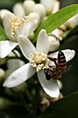 CITRUS SINENSIS;  FLOWER AND BEE