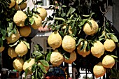 CITRUS LEMON FOR SALE