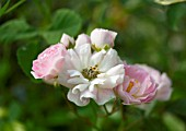 ROSA HAVERING RAMBLER