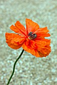 PAPAVER ORIENTALE MAY QUEEN