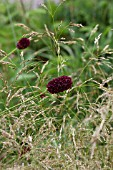 SANGUISORBA OFFICINALIS MARTINS MULBERRY
