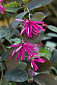 LOROPETALUM CHINENSE VAR RUBRUM FIRE DANCE