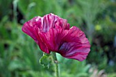 PAPAVER HEARTBEAT SUPER POPPY SERIES