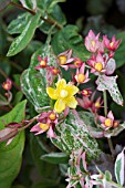 HYPERICUM X INODORUM AUTUMN SURPRISE