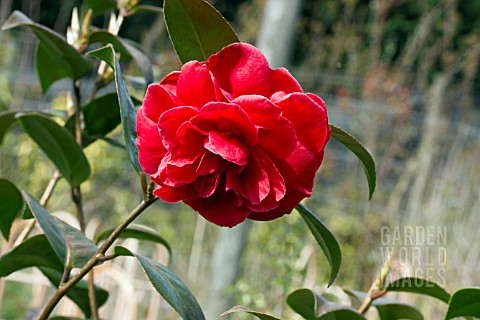CAMELLIA_JAPONICA_DIXIE_KNIGHT