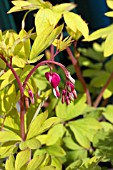 DICENTRA SPECTABLIS GOLD HEART
