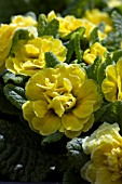 PRIMULA BELARINA BUTTERCUP YELLOW