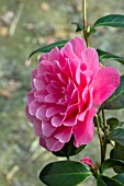CAMELLIA X WILLIAMSII WATERLILY
