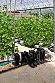 BEAN PLANTS IN A COMMERCIAL GREENHOUSE