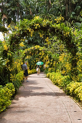 GOLDEN_SHOWER_ORCHIDS_ON_ARBOURS_AT_THE_NATIONAL_ORCHID_GARDEN_SINGAPORE