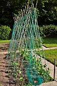 RUNNER BEANS GROWING ON BAMBOO A FRAME WITH PROTECTIVE NETTING