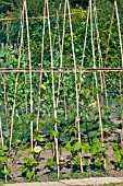 RUNNER BEANS WITH BAMBOO SUPPORTS AND PROTECTIVE NETTING