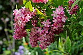 DEUTZIA X HYBRIDA STRAWBERRY FIELDS