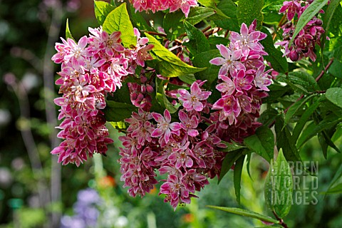 http://www.gardenworldimages.co.uk/ImageThumbs/LHV1318/3/LHV1318_DEUTZIA_X_HYBRIDA_STRAWBERRY_FIELDS.jpg