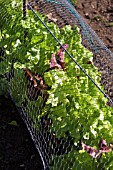 LETTUCE GROWING UNDER WIRE NETTING TO DETER RABBITS AND DEER